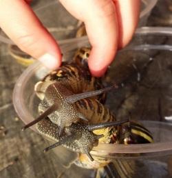 snails piggy back